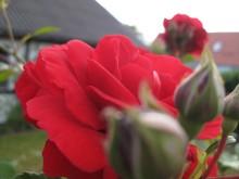 Møn Sommerhaus Wegesrand rote Rosen