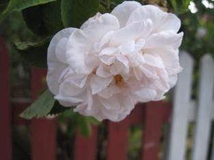 Møn Sommerhaus Wegesrand weiße Rosen