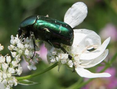 Carmen Wedeland Insekt 05