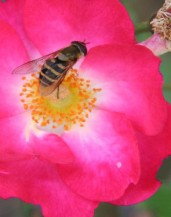 Carmen Wedeland Insekt 07