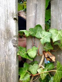 The Eye in the Ivy (Foto: S. Hegnsvang)