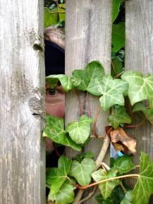 The Eye in the Ivy (Foto: S. Hegnsvang)