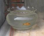 Goldfisch im Glas