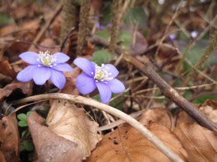 Møn blå anemoner Bakkegaard 2015