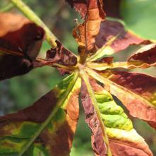 herbst-mon-ernte-kastanienblatt