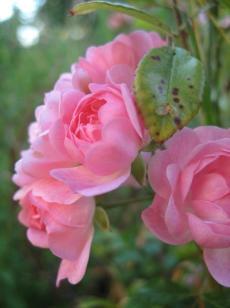 herbst-mon-ernte-rosen