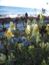 mon-blumen-am-strand-bei-fanefjord