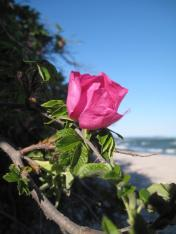 mon-rose-an-oddermose-strand-122