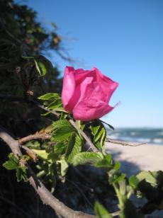 mon-rose-an-oddermose-strand-122