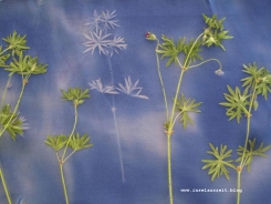 Sunprinting Pflanzendruck Emilielunden 036