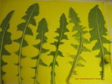 Sunprinting Pflanzendruck Emilielunden Löwenzahn 048