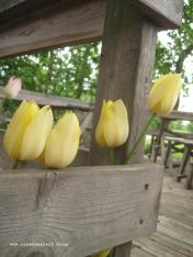 Kalvehave Labyrintpark Tulpen auf der Terrasse 037