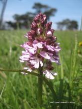 Møn Dänemark Høvblege Orchidee Purpur-Knabenkraut Orkide Stor Gøgeurt 171