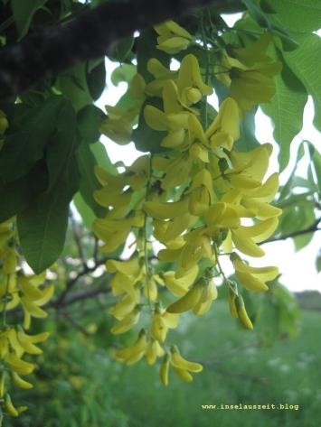 Møn Frühjahrsbaum 021