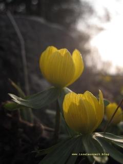 Møn Frühjahrsblumenz 001
