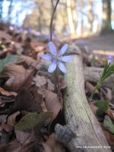 Møn Leberblümchen blå anemone 252