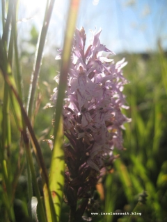 Møn Hundevæng Overdrev Orkideer Orchideen 006