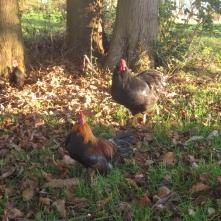 Landleben Hühner im Garten